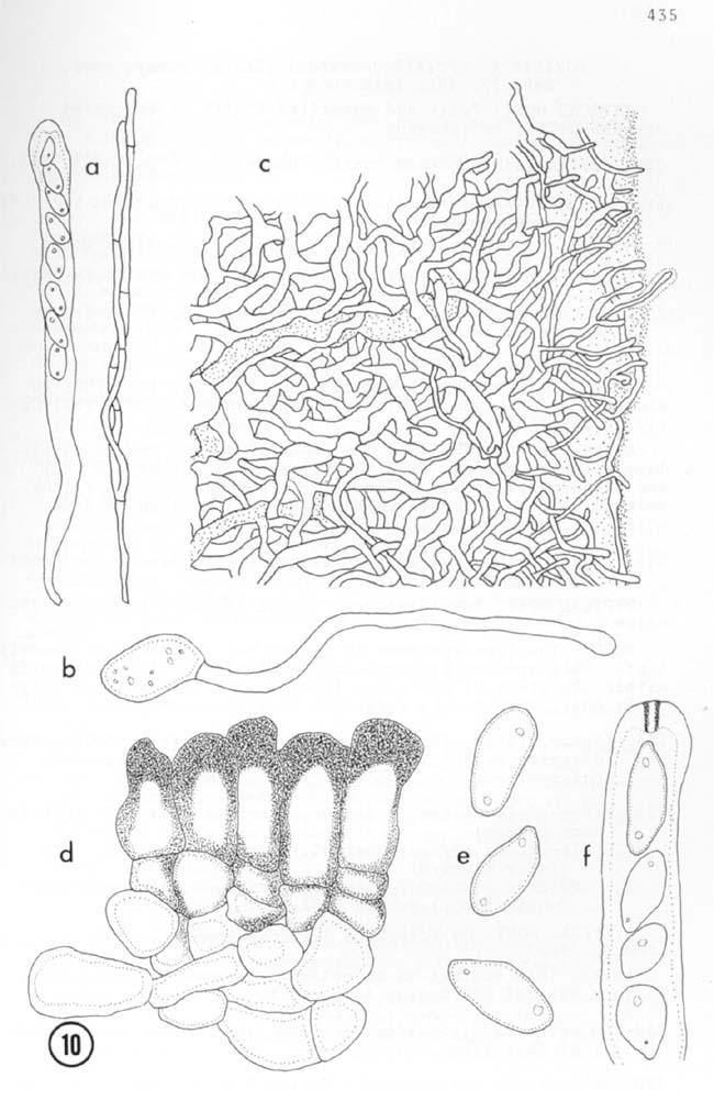 Dumontinia tuberosa. a. Ascos y par�fisis (x500). b. Germinaci�n de la ascospora (x1500). c. Secci�n transversal mostrando el exc�pulo ectal y parte del medular (x500). d. Secci�n del esclerocio mostrando las c�lulas hialinas medulares (x1500). e. Ascosporas (x1500). f. Asco con el poro I+ (x1500). (http://www.cybertruffle.org.uk/cyberliber/)