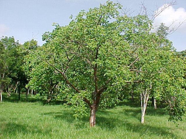 Plants of Viñales: a pictorial guide - Bursera simaruba