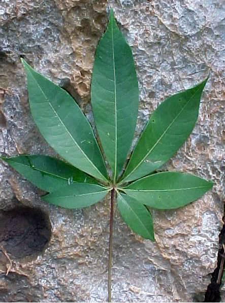 Ceiba pentandra (L ) Gaertn