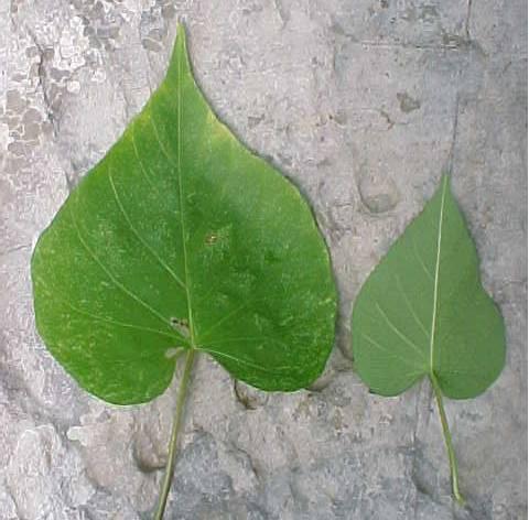 Plantas de vi ales gu a ilustrada ipomoea nil for Hojas ornamentales con sus nombres