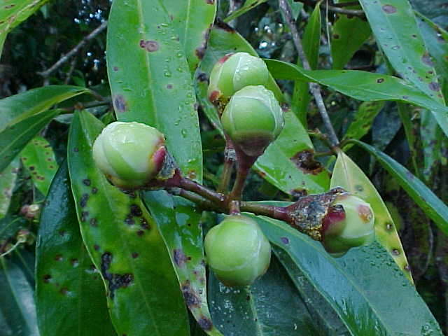 Plants of Viñales: a pictorial guide - Syzygium jambos