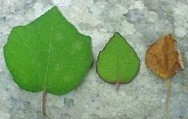 20 graines César Weed Urena Lobata Thai traditiona jute africain hibiscus Burr